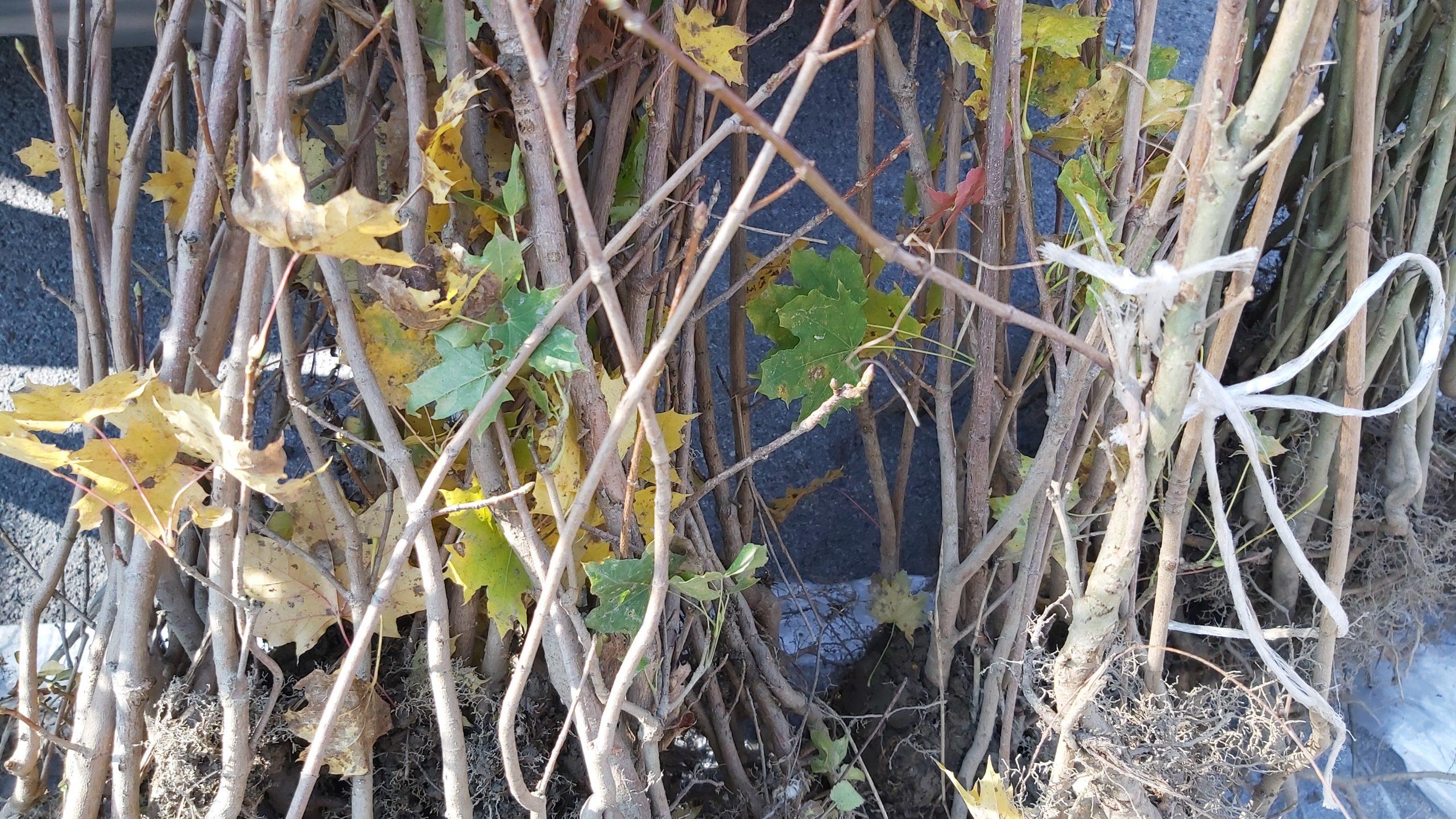 Oko 400 građana Užica se prijavilo da u svom dvorištu zasadi jasen ili javor, poklon lokalne samouprave u sklopu akcije 16 000 stabala za 16 000 ložišta.